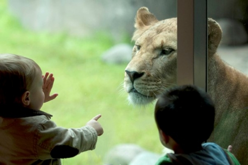 5450227-Oregon-Zoo-Lion-with-toddler